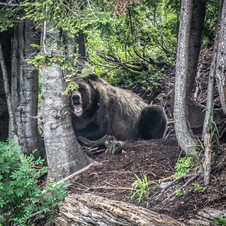 A Big Grizzly (glad to have 300mm reach here) Nikon1 V2