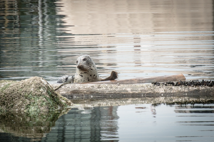 Mom and baby seal in Vancouver harbour (Nikon  1)