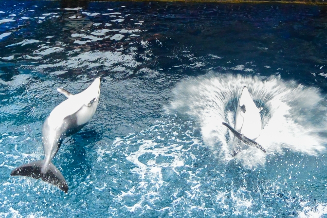 Proof that dolphins are smarter than humans - they do backflops instead of bellyflops.